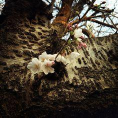 #cherryblossoms #japan