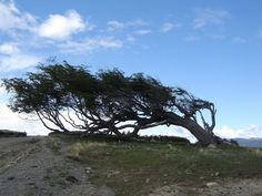 Windswept tree - Ushuaia - Patagonie — Wikipédia