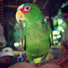 #crocozoo #mexico #green #parrot by tanus4ik http://www.australiaunwrapped.com/