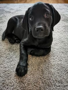New addition... by Andy Gibson / 500px Labrador Retriever, Doggies, Animals, Labrador Retrievers, Little Puppies, Animales, Animaux, Pet Dogs, Animal