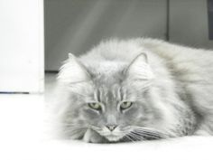 Misty is an adopted Domestic Long Hair-Gray Cat in Lake Panasoffkee, FL. Misty is a 4yr old grey Maine Coon cat. Long beautiful hair and a calm personality Misty has been spayed,and her vaccines are c...