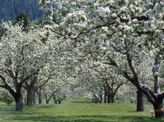 Spring apple blossom orchard, apple blossom, blooming, spring