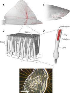 Proton conductivity in ampullae of Lorenzini jelly | Science Advances
