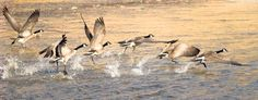 Canada geese lift off from the Río Grande in Taos County. Photo by Geraint Smith, geraintsmith.com