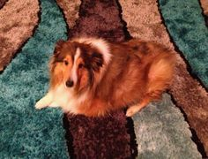 """Meet Gus Gus, a 4 yr old sheltie who was dumped at a veterinary hospital. His owner suggested he be """"put to sleep"""" because he had seizures, then never came back for him. A vet tech from the hospital fell in love with Gus & adopted him. She's now on a journey to get Gus Gus back into great health and shape.  Gus has had double knee surgery & is recovering very well!   He'll get his stitches out/be back in Physical Therapy again tomorrow…"""