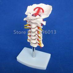 HOT Cervical Vertebral Column with Neck Artery Model, Cervical vertebral column model with carotid artery
