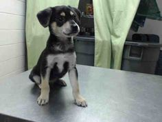 04/10/15-HOUSTON-This DOG - ID#A429283  I am a male, black and tan Chihuahua - Smooth Coated mix.  The shelter staff think I am about 9 weeks old.  I have been at the shelter since Apr 02, 2015.