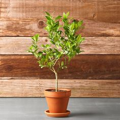 small lemon or Lime Tree