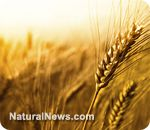 Dr. William Davis believes that the way modern-day wheat has been genetically modified is contributing to the obesity epidemic in America. More from him here: http://www.cbsnews.com/8301-505269_162-57505149/modern-wheat-a-perfect-chronic-poison-doctor-says/
