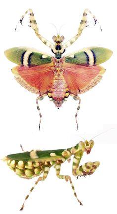 Theoprobus elegans