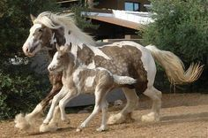 Gypsy Vanner mare and foal in silver dapple tobiano.