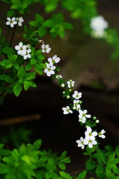Thunberg's meadowsweet (Spiraea thunbergii) Little Flowers, Green Flowers, Pretty Flowers, White Flowers, Flower Pictures, Nature Pictures, Beautiful Flowers Wallpapers, Blossom Flower, Spring Blossom