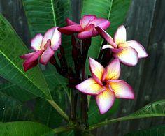 "Purple Jaded Dragon ""Saeng Manee / Mangkonyok"" (Thailand) Plumeria frangipani by Tropic~7, via Flickr"