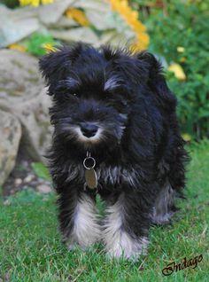 http://IndagoDogPhotography.co.uk  Miniature Schnauzer puppy - Heidi