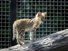 #serwal #kociak #Zoosafarii #Borysew