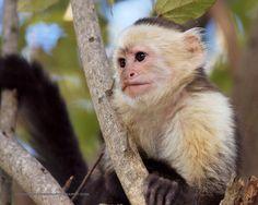 White-Faced Capuchin monkey