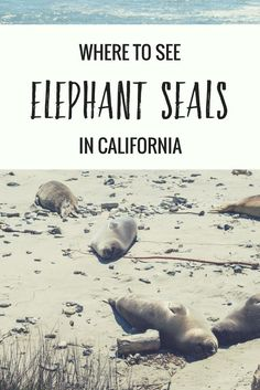 Where to see elephant seals in California: the elephant seal tour at Ano Nuevo State Park