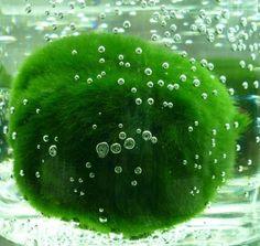 How to care for Marimo Balls More Más Indoor Water Garden, Indoor Plants, Water Gardens, Planted Aquarium, Aquarium Fish, Aquarium Aquascape, Nano Aquarium, Nature Aquarium, Moss Garden