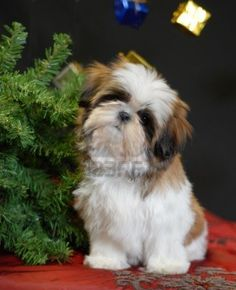 shih tzu puppy and christmas tree