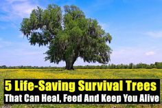 5 Life-Saving Survival Trees That Can Heal, Feed And Keep You Alive - SHTF, Emergency Preparedness, Survival Prepping, Homesteading Homestead Survival, Camping Survival, Outdoor Survival, Survival Prepping, Emergency Preparedness, Survival Skills, Survival Gear, Tree Pruning, Emergency Preparation
