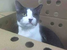 NYACC**URGENT**HANDSOME BLUE/WHITE GUY** TO BE DESTROYED 7/28/14 Brooklyn Center  My name is GRAY. My Animal ID # is A1007310. I am a male gray and white domestic sh mix. The shelter thinks I am about 2 YEARS. https://m.facebook.com/photo.php?fbid=833710213307479&id=155925874419253&set=a.576546742357162.1073741827.155925874419253&source=43