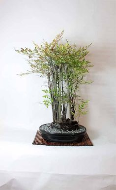 Mature Heavenly Nandina Bamboo Bonsai Tree by LiveBonsaiTree, $179.00
