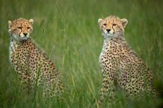 Leopard Pictures, Small Cat, Cheetahs, Big Cats, Africa, Creatures, Pets, Drawings, Nature