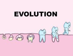 """""""The Dental Theory of Evolution"""" portrays the development of a tooth bud, which is often categorized into 'bud', 'cap', 'bell' and 'crown' stages. Dental Hygiene School, Dental Life, Dental Art, Dental Hygienist, Dental Implants, Dental Humour, Dental Assistant, Dentist Jokes, Dentist Cartoon"""
