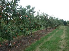 fruit orchards | Before You Start an Apple Orchard - Commercial Fruit Production in ...