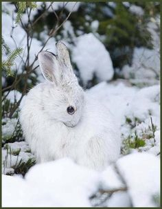 Snow Shoe Hare- White in the winter and brown in the summer