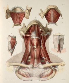 Neck+muscles%2C+with+mandible%2C+hyoid+bone%2C+clavicles+and+laryngeal+cartilages.jpg (742×887)
