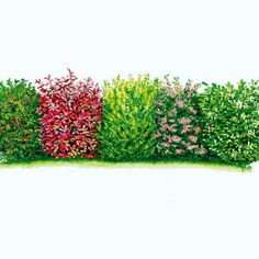 Haie impénétrable, persistante | Composition : 2 Laurier-cerise (Prunus laurocerasus) + 2 Viorne (Viburnum lantana) + 2 Troène commun (Ligustrum ovalifolium) + 2 Photinia 'Red Robin' (Photinia x fraseri) + 2 Houx (Ilex aquifolium) > env. 10 m | plantation : octobre-juin ; exposition : lieu ensoleillé mi-ombragé ; Hauteur : 250 cm | Conseils : Creusez tranchée 60 cm, ajoutez au fond, du terreau ou compost, un peu de sable. Arrosez abondamment puis régulièrement jusqu'en automne. 1 arbuste/80…