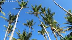 The palm trees of the Dominican Republic, http://www.therealdr.com
