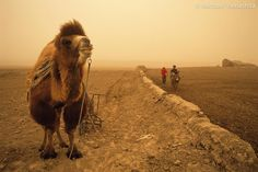 Photograph by Michael Yamashita. The Great Wall of China: A Bactrian camel takes a break from plowing beside remains of the Han Dynasty Wall built to protect the trade corridor known as the Silk Road standing no higher than 3 meters. Dust from the Gobi Desert gives the sky its yellow cast. For more photographs of #China please visit @yamashitaphoto #GreatWall #camel #desert @thephotosociety @natgeocreative by natgeo