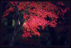 japanese maple tree by jyoujo
