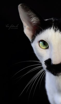 ღ(。◕‿◕。)ღ Looks like an Oriental Shorthair; basically same shape and temperament as a Siamese, but in any non-Siamese colour pattern