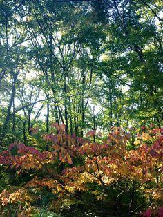 ヤマボウシ紅葉【10月】