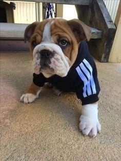 My little Adidog ❤️
