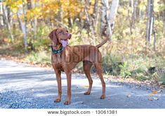 Med sized non-shedding dog - Vizsla Akc Breeds, Best Dog Breeds, Best Dogs, Vizsla Puppies, Dogs And Puppies, Vizsla Dog, Dog Breed Selector, Non Shedding Dogs, Animals And Pets