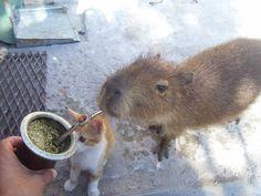 "Ladies  Gentlemen, THIS happens only in Uruguay, my country: ""Carpincho (capybara)"" drinking ""mate""."