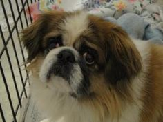 OHIO ~ URG'T ~ meet Gizmo an #adoptable 9y/o #Pekingese #dog in Saint Clairsville. I came to the shelter because my former owner had to go into a nursing home & there was no one in the family to take me. I'm a sweet boy & I'm housetrained- I like other dogs & cats. I've never been around kids so I don't know how I'd do with them. Come see me at the shelter or contact them about me they're open 7 days a week so U can #adopt me. Belmont County Animal Shelter  740-695-4708 &/OR  bcarl45244@att.net