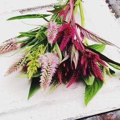 Celosia spicata Wheat Celosia Mixed Colors Great for Cut Flower Garden and Dried Flowers