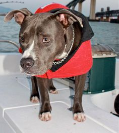 American Bluenose Pitbull Terrier boat dog