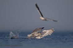 """HARMAALOKKI Yleiskuvaus: Suurikokoinen lokki, joka puvultaan muistuttaa kalalokkia. Nokka tukeva ja silmissä """"tuima ilme"""". Nuori lintu kauttaaltaan ruskeankirjava."""
