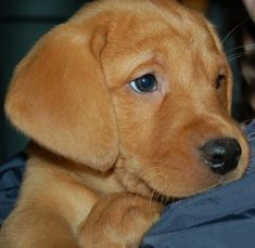 Fox red lab puppy.. these are the best dogs on the face of the earth<3 I miss mine so so so much.