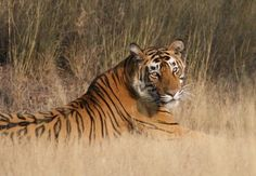 Ranthambore is one of India's largest parks covering 392 sq km, but its proximity to Jaipur makes it one of the most accessible in the country. Between November and May tigers have been sighted here not only at dawn or dusk, but also on safari during the day. Thanks to the increasing tiger population over 60 of these magnificent beasts now call Ranthambore home.