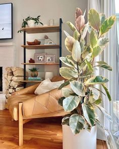 Indoor Tree Plants, Trees To Plant, House Plants Decor, Plant Decor, House Tree Plants, Rubber Plant Care, Tree House Interior, Corner Plant, Variegated Plants