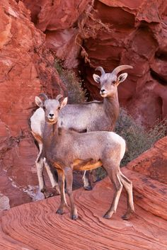 https://flic.kr/p/aS1sJn | Posing Perfection | Desert Big Horn Sheep Valley Of Fire State Park Overton, Nevada  Click here  to view larger.