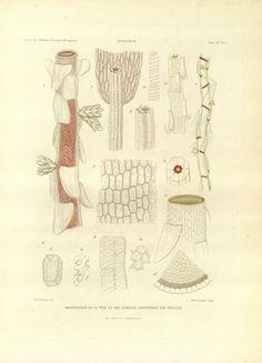 Versuch einer Entwickelungs-Geschichte der Torfmoose (Sphagnum) : - Biodiversity Heritage Library