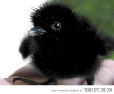 Baby crows deserve more attention…okay W/me, very cute, & intelligent!   see: http://www.cracked.com/article_19042_6-terrifying-ways-crows-are-way-smarter-than-you-think.html